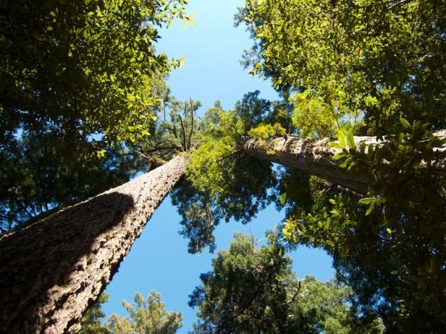 redwoods 4